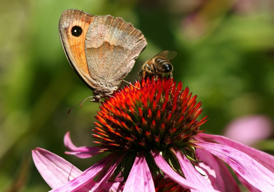 Honey bee and butterfly on echinacea