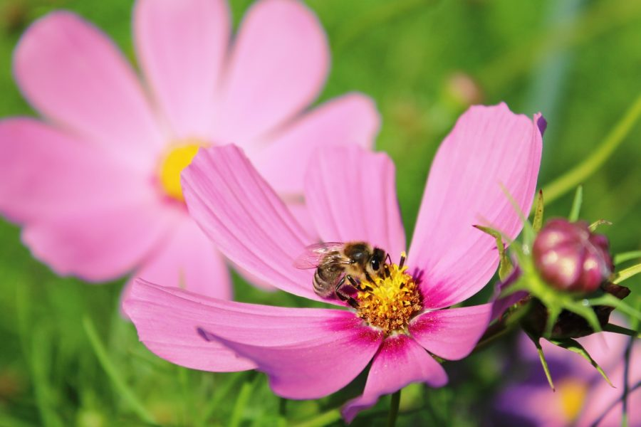 Honey bee on cosmos