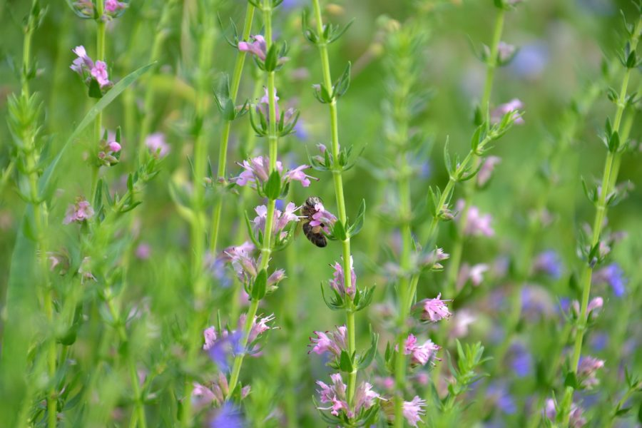 Honey bee on hyssop