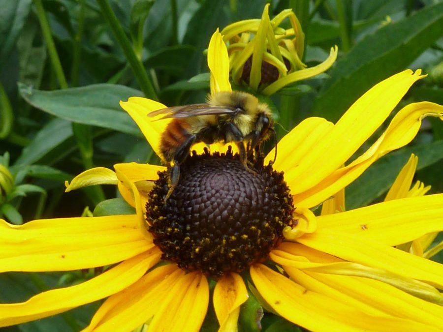 Honey bee on black eyed susan